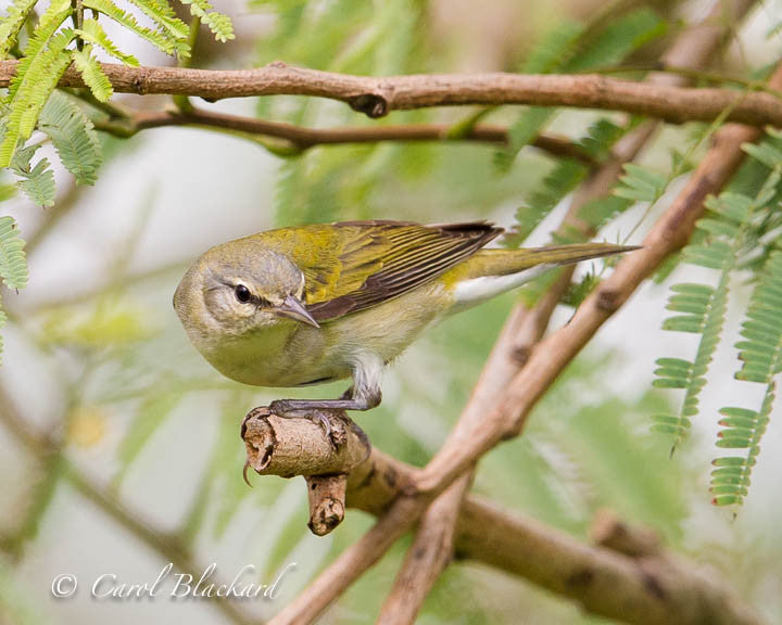 Yellow warbler bird close-up on branch in feathery leaves