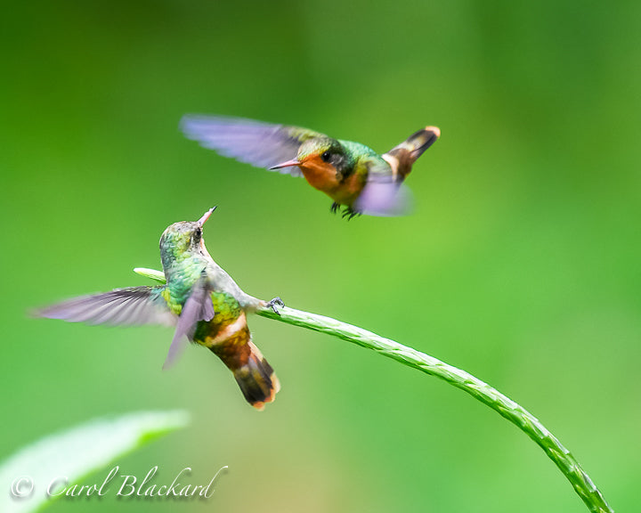 Two cute little hummingbirds fighting