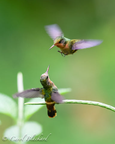 Fighting hummingbirds