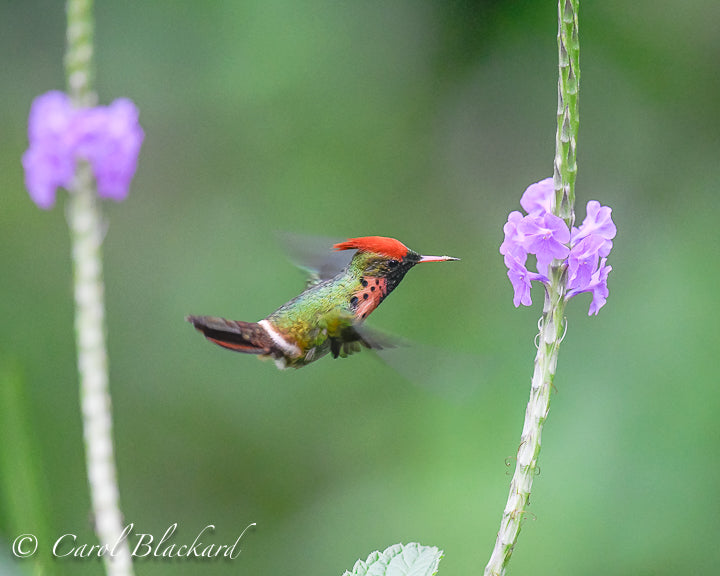 Cute hummingbird with tuft at flower