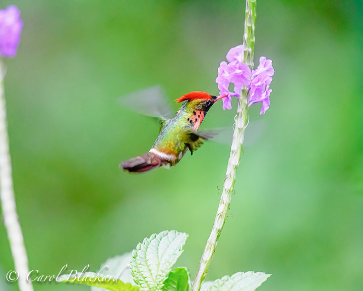 Cute tufted male hummingbird
