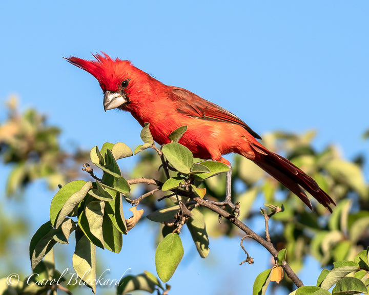 Bright red cardinal with tuft
