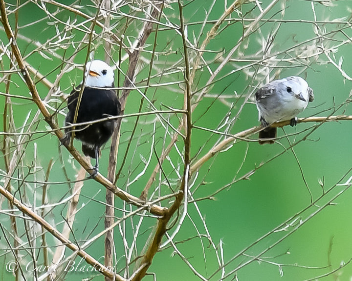 White-headed Marsh-Tyrant, male and female
