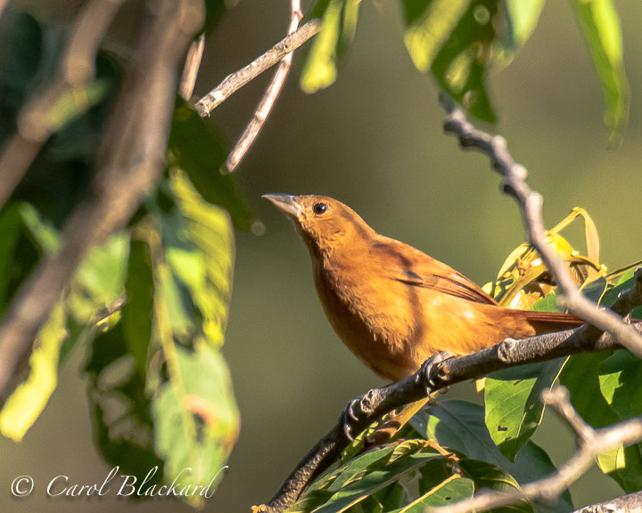 Beautiful warm burnt orange-colored tanager bird