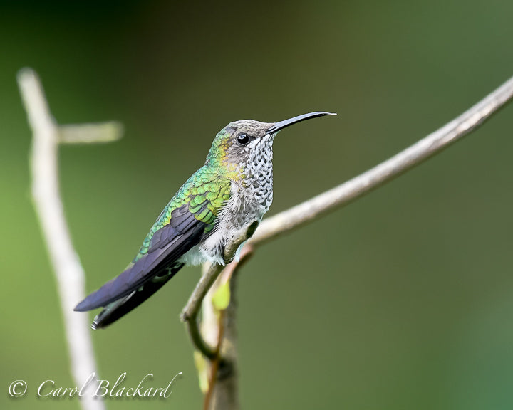Speckled throat and chest on green hummingbird