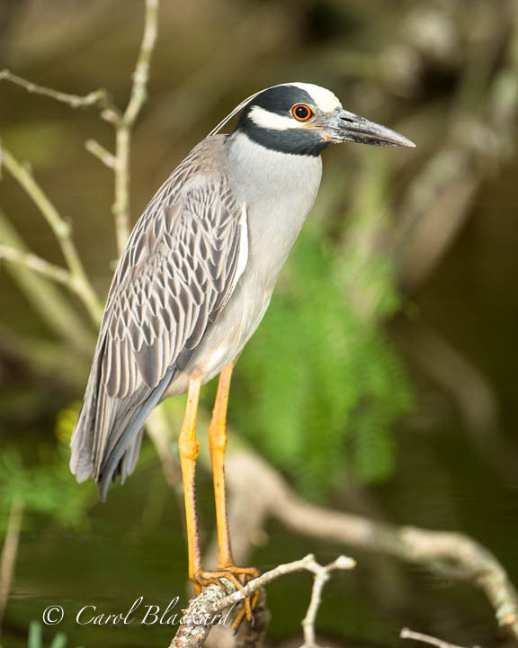 Standing yellow-legged red-eyed heron