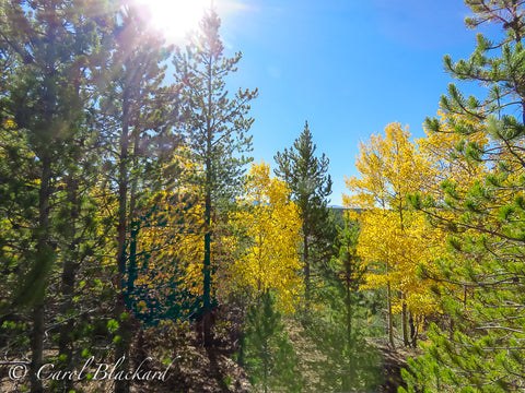 Sun shining through pines onto bright yellow aspen.
