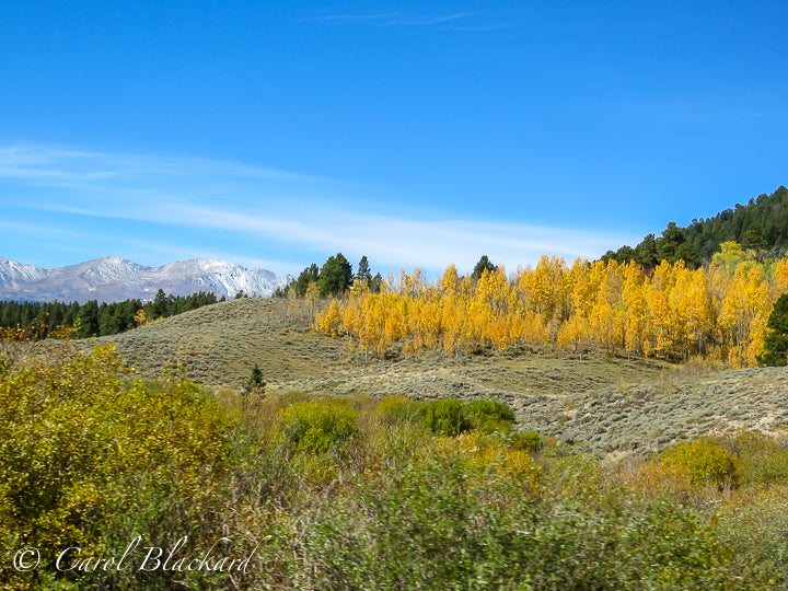 Yellow aspens, green evergreens, distant snow-covered mountain range