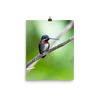 Long-billed Starthroat in profile - print