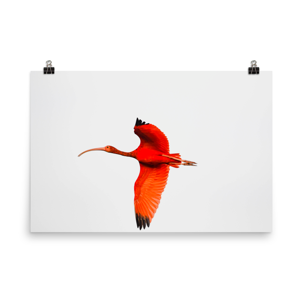 Scarlet Ibis flying to roost - print