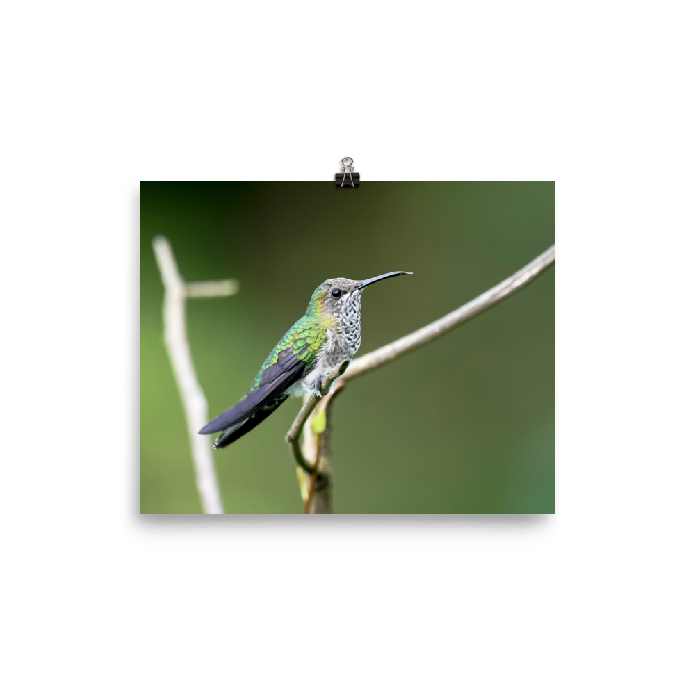 Female White-necked Jacobin - print