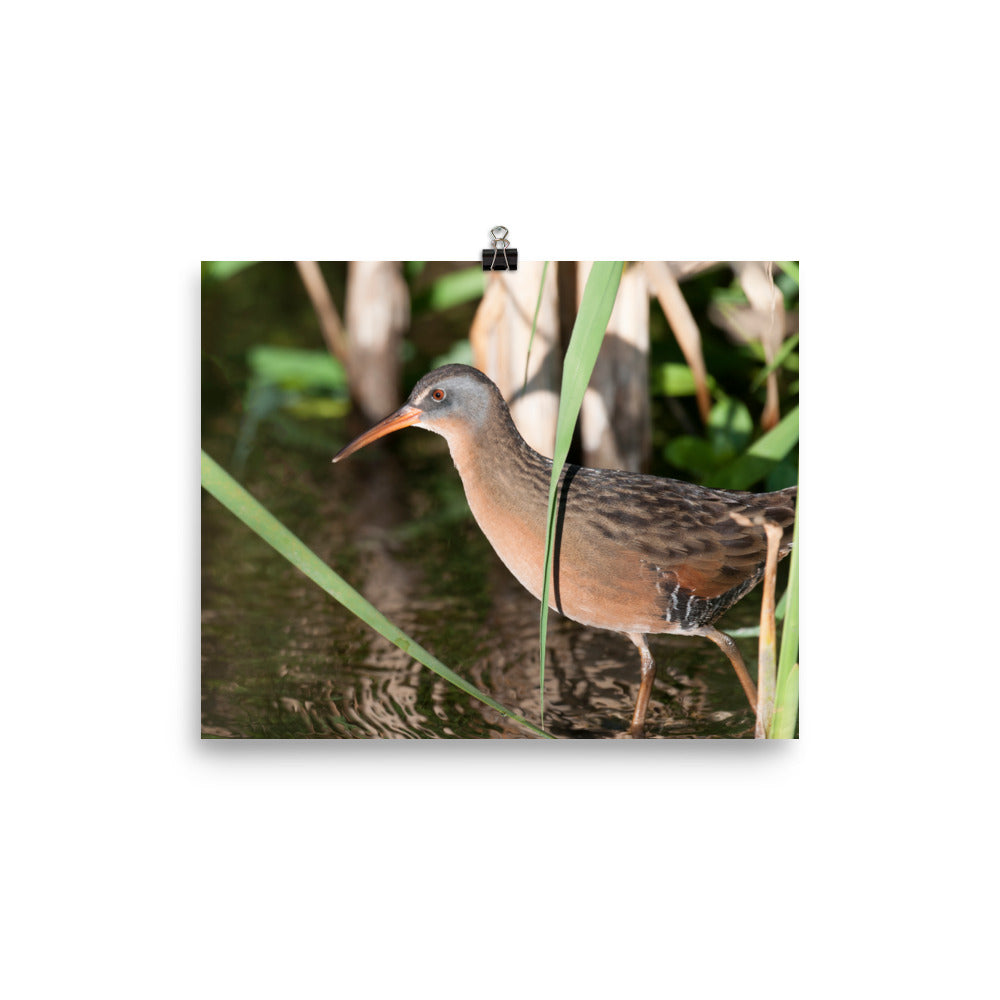 Virginia Rail photo print 1