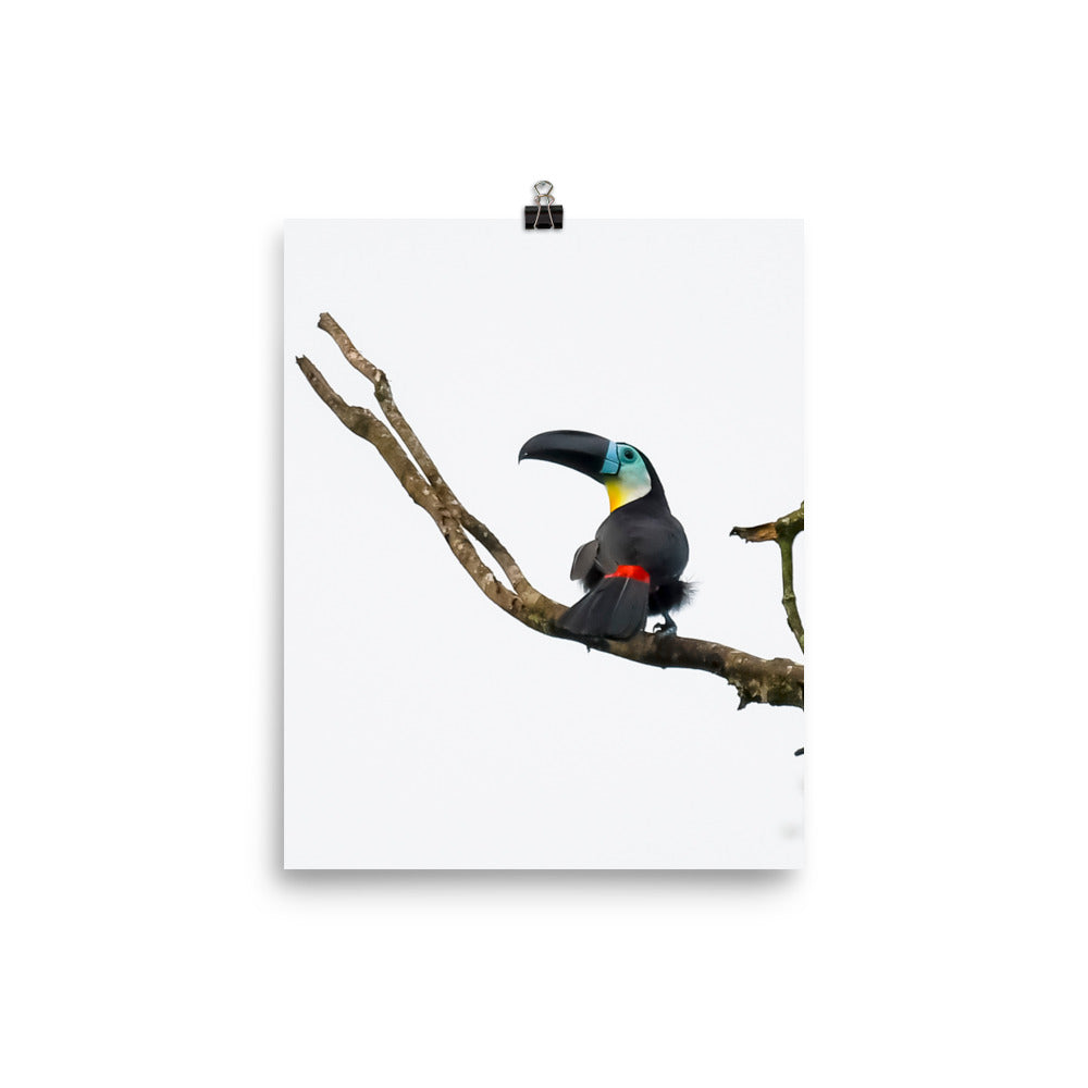 Channel-billed Toucan - print