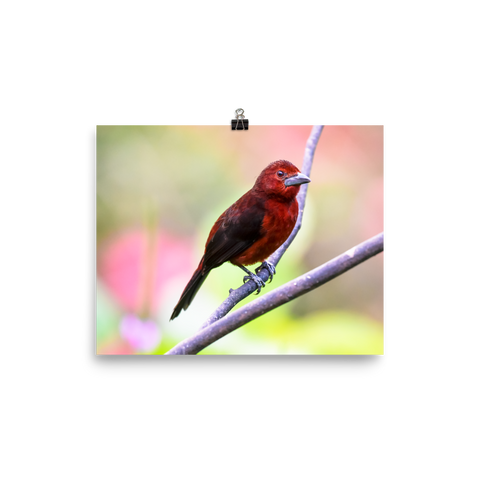 Silver-beaked Tanager, female - print