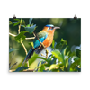Blue-crowned Motmot in the sun