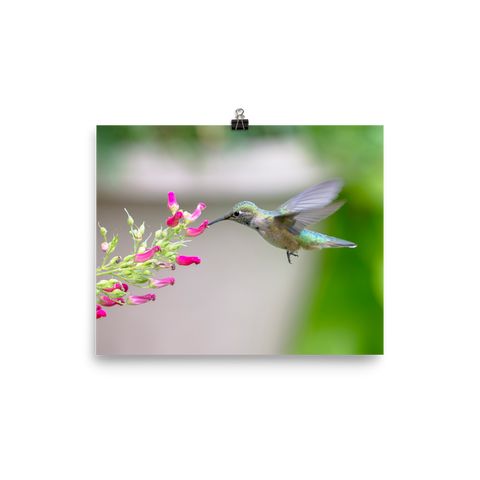 Hovering Broadtailed Hummingbird on Red Birds Plant-print