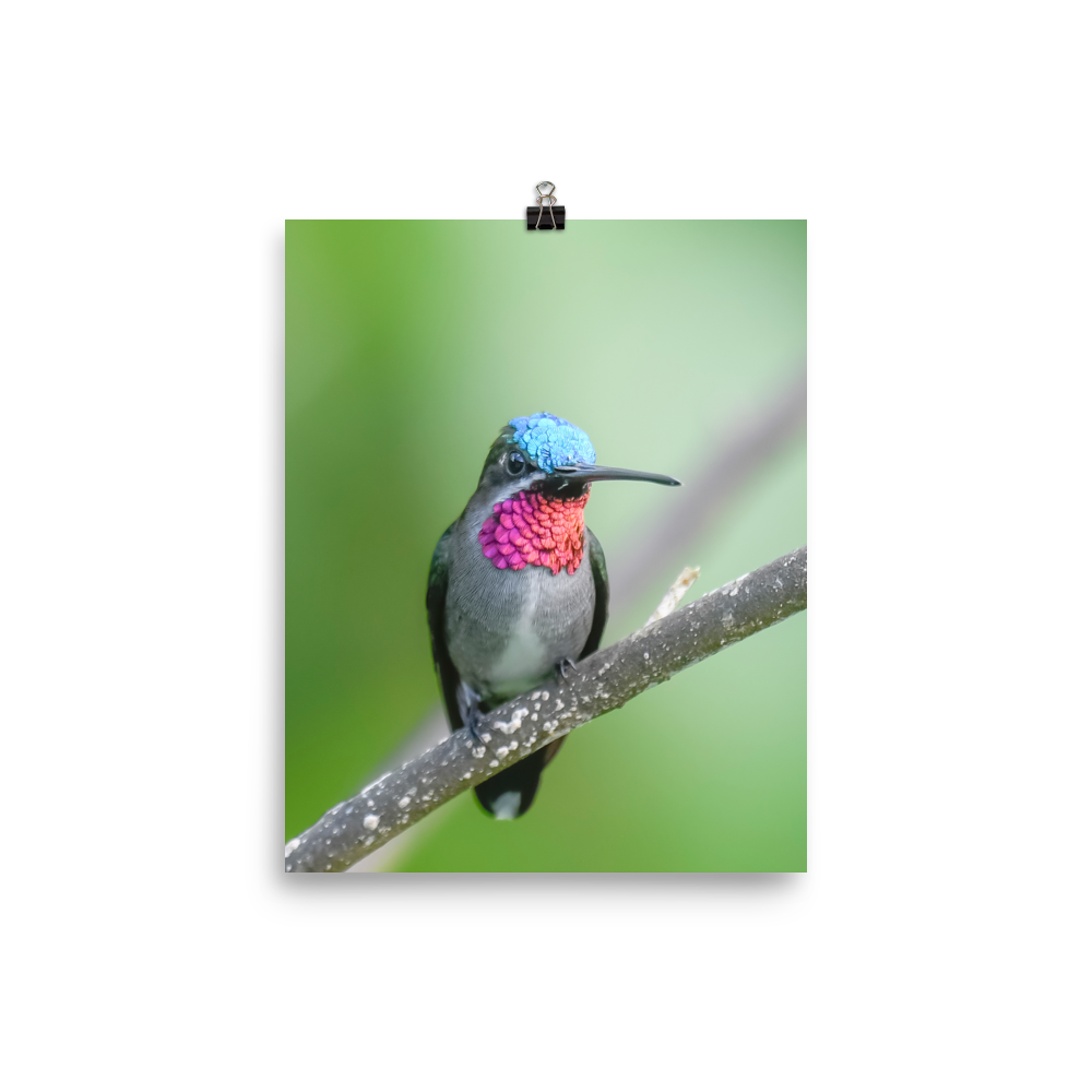 Long-billed Starthroat - print