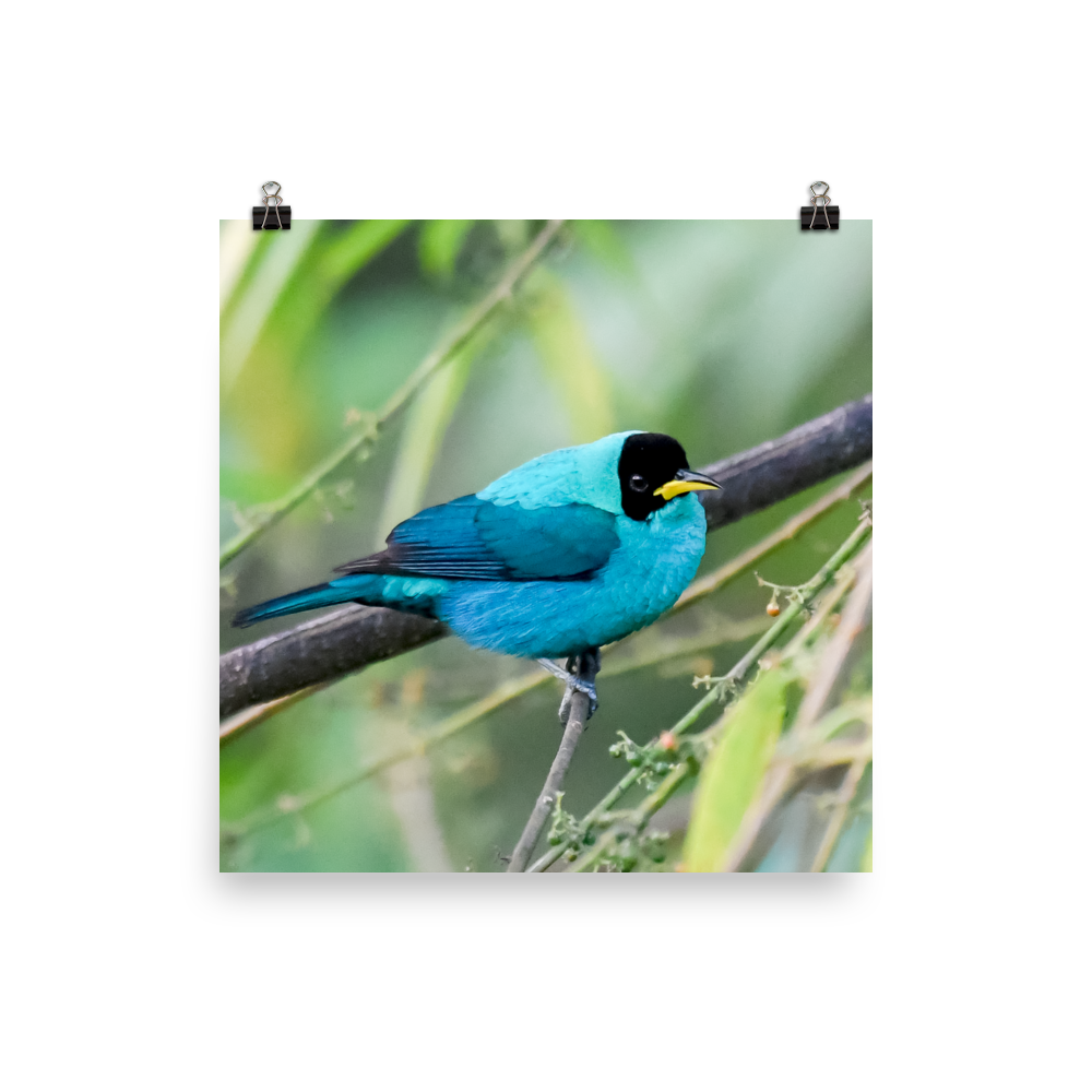 Green Honeycreeper, male 3 - print