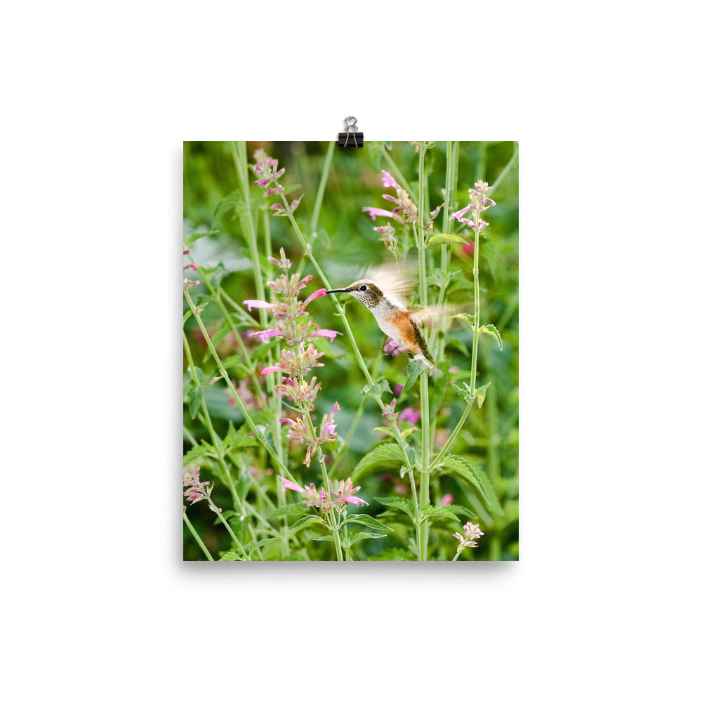 Broadtailed Hummingbird in the flowers - print