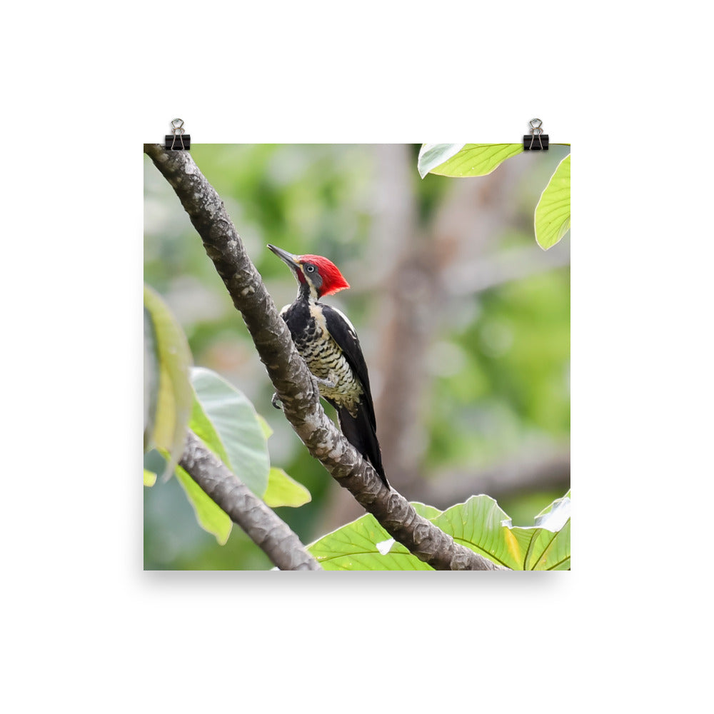 Lineated Woodpecker - print