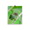 Female Purple Honeycreeper - print