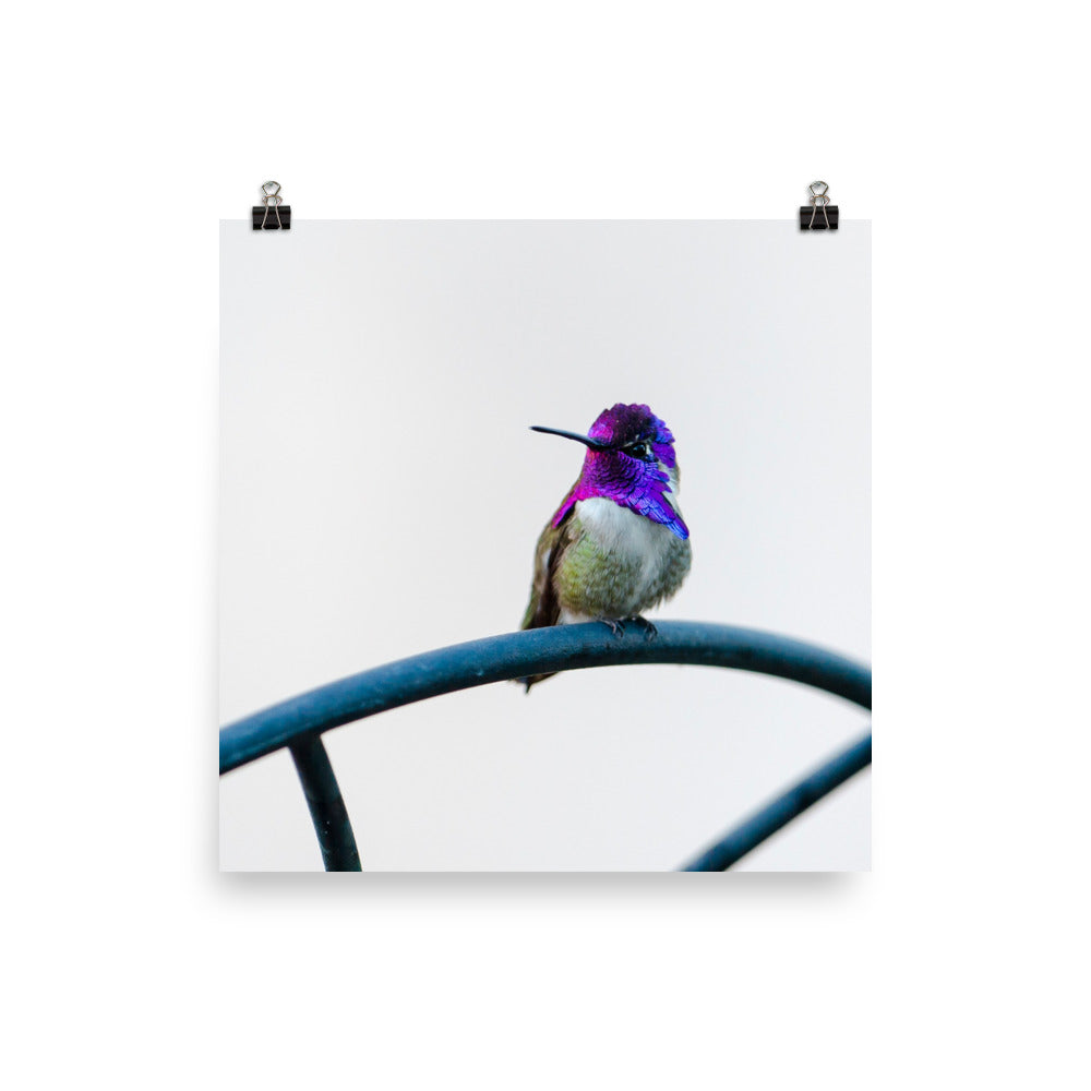 Costa Hummingbird male against white background - print