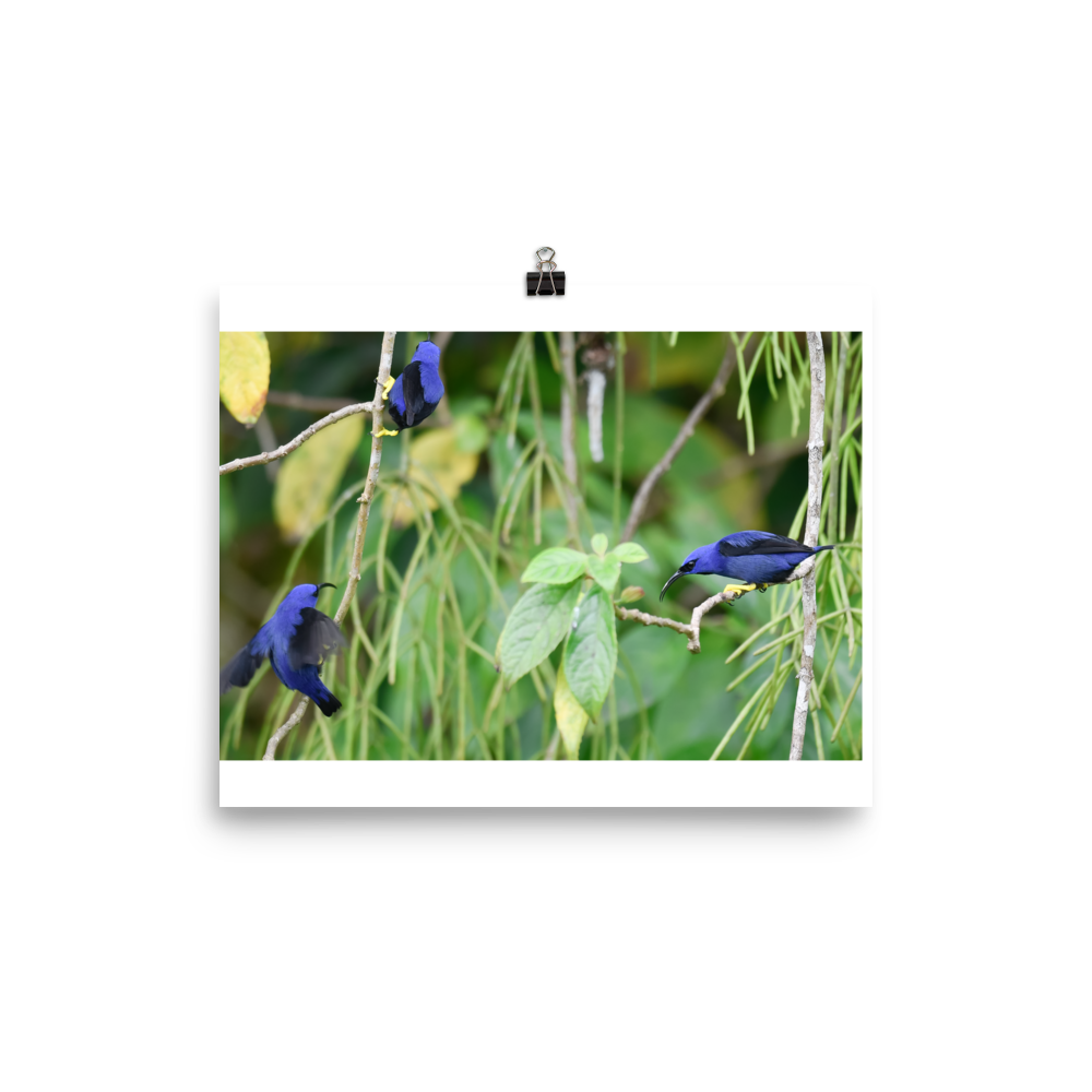 Purple Honeycreepers interacting - print