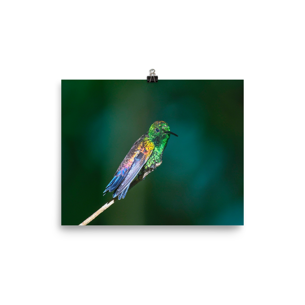 Copper-rumped Hummingbird in the sun - print