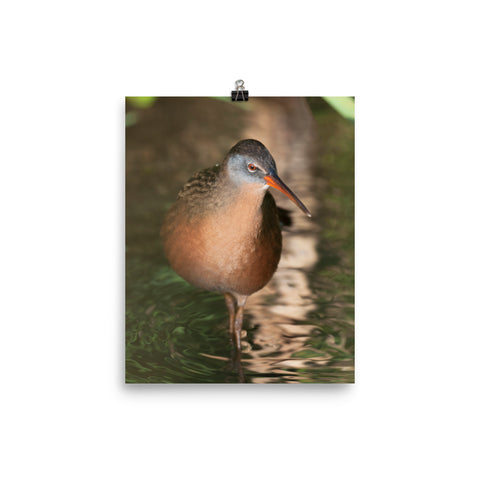 Virginia Rail photo print 2