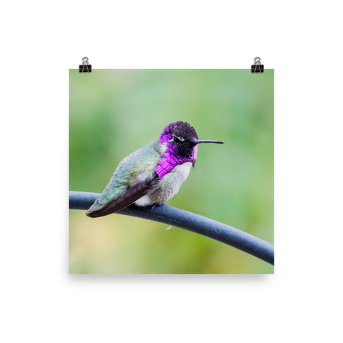 Perched hummingbird with purple gorget square print
