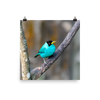 Green Honeycreeper male - print