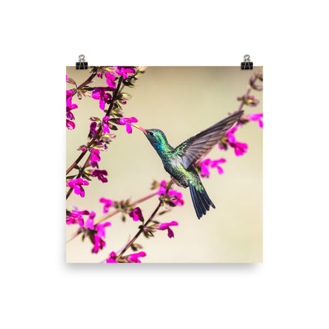 Broad-billed Hummingbird on flowers-print