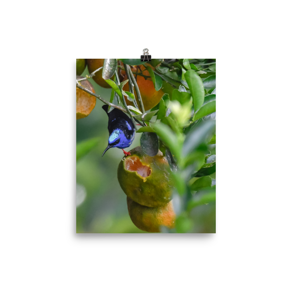 Red-legged Honeycreeper - print