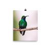 Blue-Chinned Sapphire - print