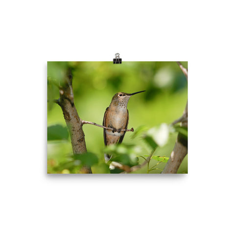 Broad-tailed Hummingbird female resting quietly on branch - print
