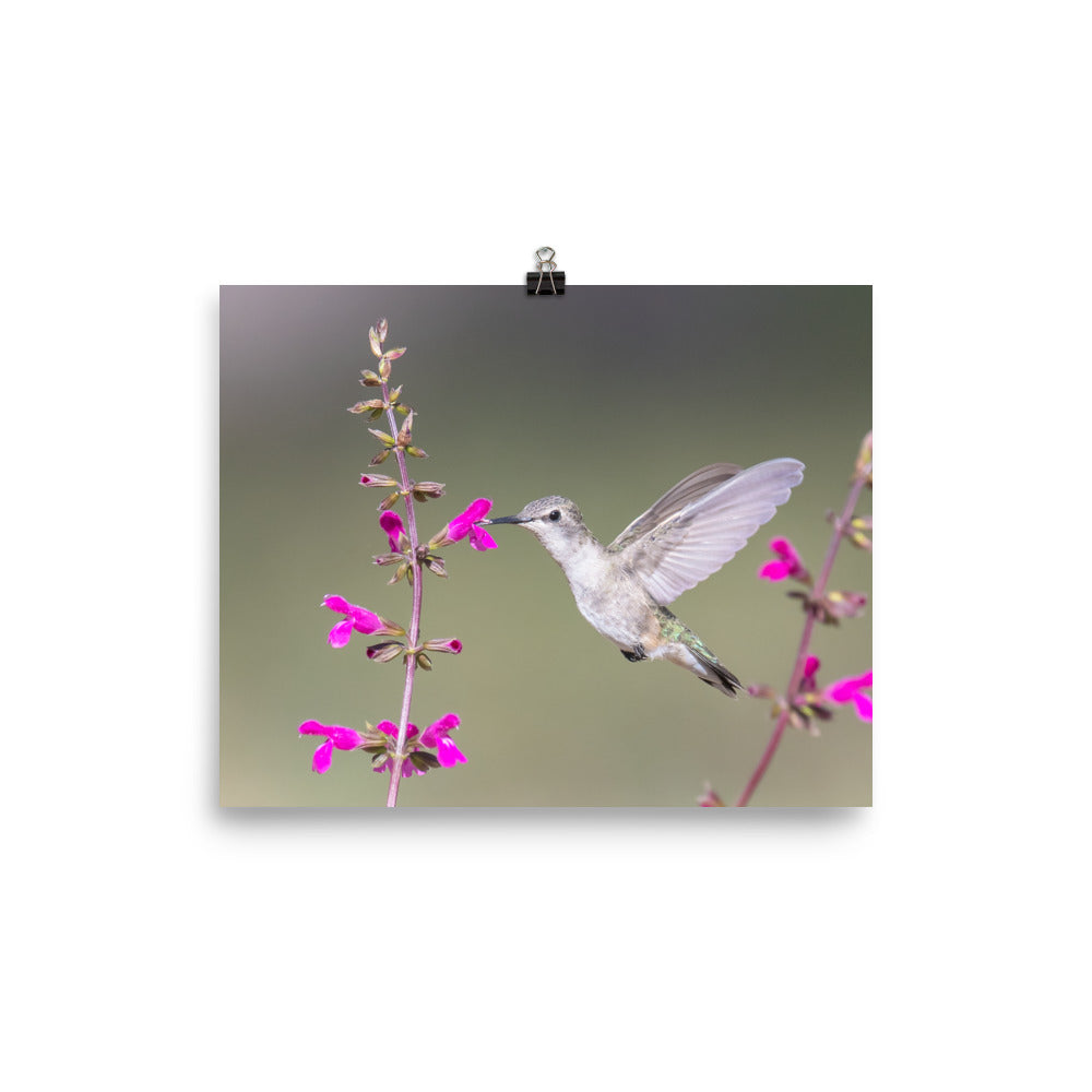 Black-chinned Hummingbird female - print