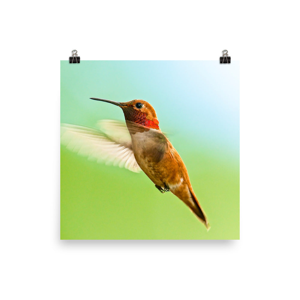 Rufous Hummingbird male, in flight - print