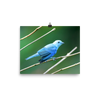 Blue-grey Tanager - print