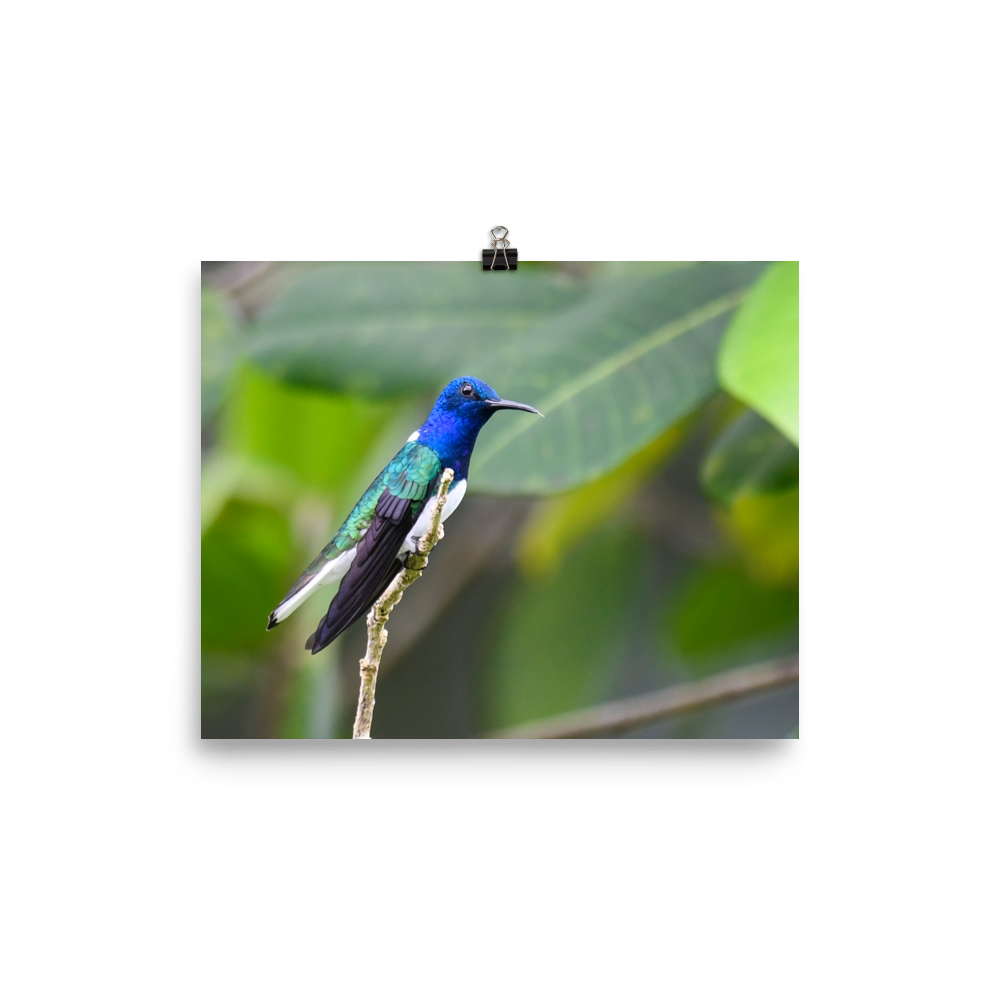 White-necked Jacobin - print