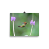 Tufted Coquette Male hovering at flower - print