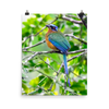 Blue-crowned Motmot-print