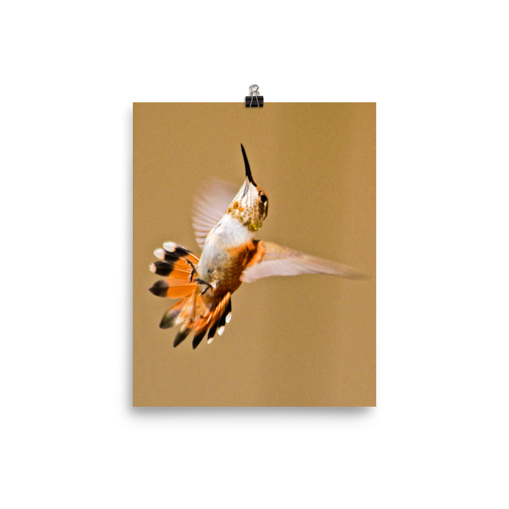 Orange tailed hummingbird wings flared on ecru background