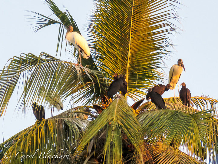Storks and vultures in palm tree
