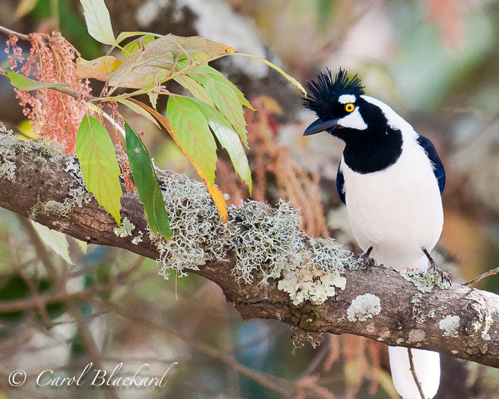 Tufted jay on lichen-covered branch