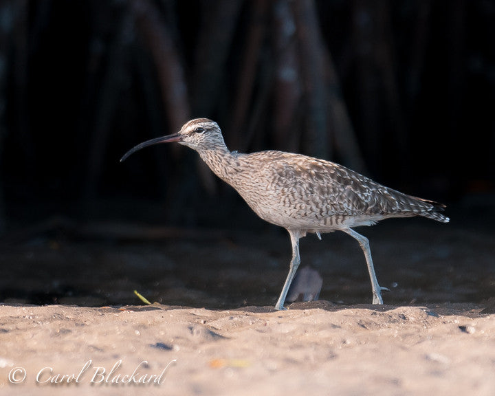 Large shorebird with curved bill.