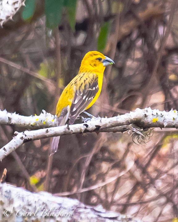 Yellow bird with heavy bill