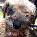Sophie, rescue dog wit Wags and Walks in L.A.