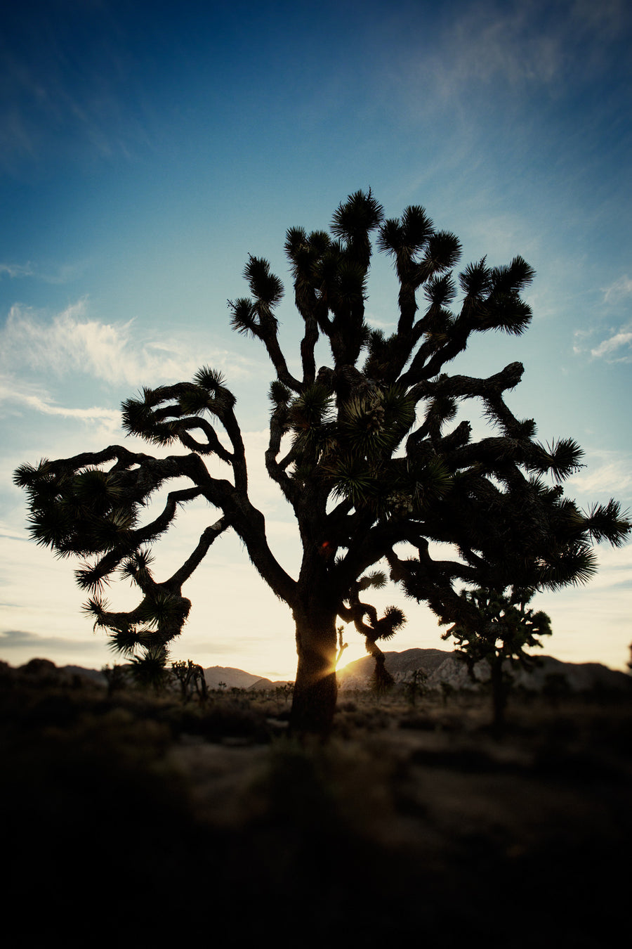 Joshua Tree Morning 1