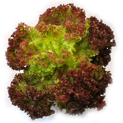 LETTUCE RED LEAF