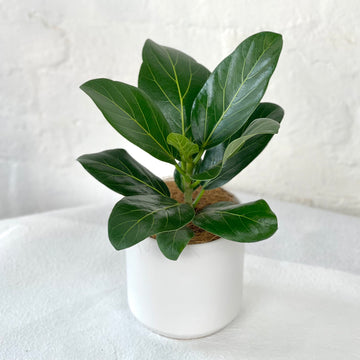 Small Potted Desk Plant
